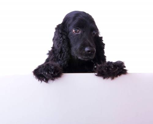 Cute black cocker spaniel puppy about to be trained.