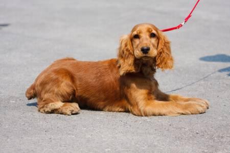Leash training a golden cocker spaniel puppy