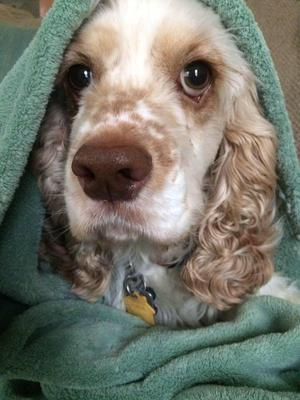 Cute orange rowan cocker spaniel puppy with wrapped in a cosy turquoise blanket.