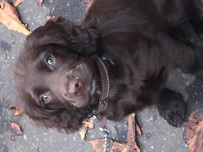 Beautiful chocolate cocker spaniel puppy sitting, looking up at the camera