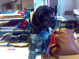 Cocker spaniel puppy sitting next to a brown leather handbag.