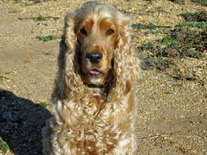 Use natural flea remedies to keep your pet free from dog ticks and fleas!