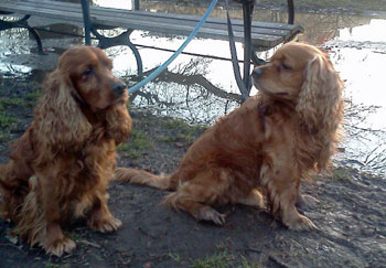 Liverpool and Bronie, cocker spaniels coats treated with vinegar