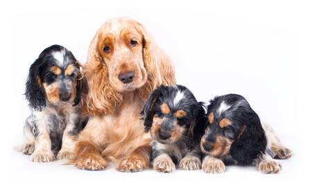 Golden cocker spaniel 'mum' with her three black and tan puppies
