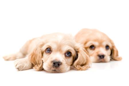 Two light golden cocker spaniel puppies - how could you pick just one?
