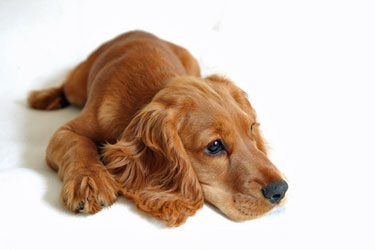 Golden cocker spaniel puppy, lying quietly on a white tiled floor.