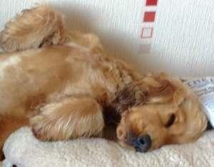 Cute cocker spaniel puppy called Alphie, taking a nap.