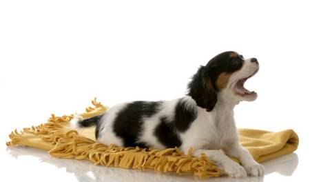 Feeding your Cocker Spaniel puppy is an important part of puppy care