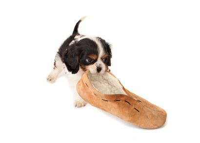 Cute cocker spaniel puppy chewing a slipper