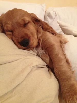 Golden cocker spaniel puppy sleeping in a bed.