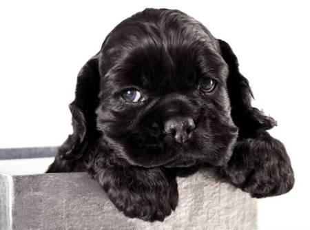 Cute black cocker spaniel puppy in metal pot