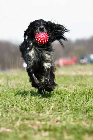 Black and white cocker spaniel with red and white spotted ball in his mouth, running towards the camera.