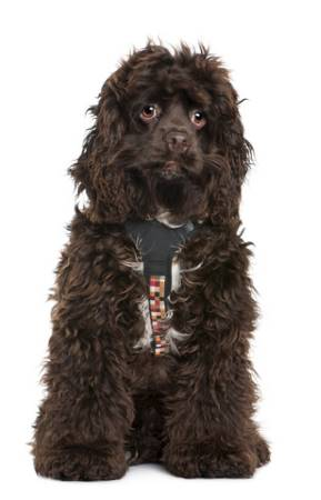 Chocolate cocker spaniel puppy wearing colorful harness