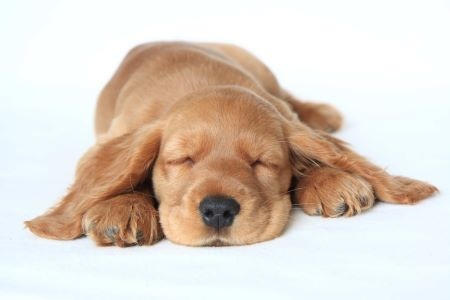 Golden cocker spaniel puppy sleeping. A tired dog will happily sleep in your absence.