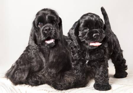 Two lively black American Cocker Spaniels - so cute, but I'll be tthey're a handful!