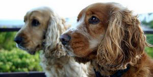 Two golden cocker spaniels looking out into fields