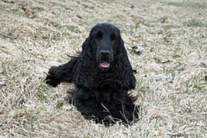 Black cocker spaniel being trained to lie down on command