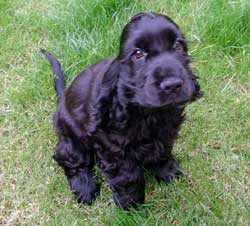 Cute black cocker spaniel sitting on the grass, being potty trained