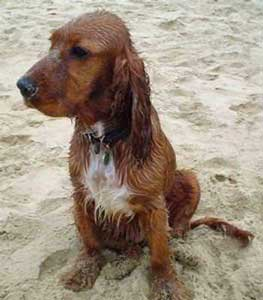 Wet golden cocker spaniel enjoying the beach
