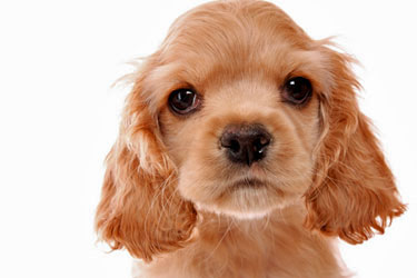 Light golden cocker spaniel puppy - isn't he cute?