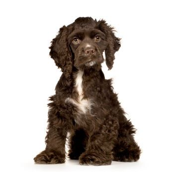 Chocolate cocker spaniel puppy - sweet!