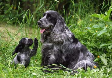 Roan cocker spaniel and puppy sitting in vegetation