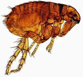 If you want to know what fleas look like - take a closer look at this dog flea