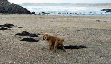 Cocker Spaniel's Love Playing On The Beach!